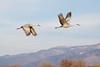 Sandhill Crane Flight Duo (Grus canadensis); Ladd Gordon Waterfowl Complex, Bernado, NM [Lou Feltz] (deserttoad) Tags: bird wildbird nature water behavior crane waterfowl newmexico flight preserve