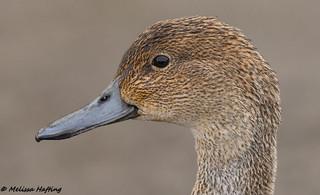 Northern Pintail Hen (Anas acuta) - Delta, BC