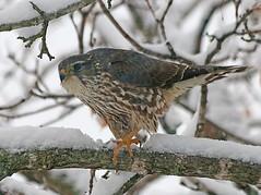 Tale of a Merlin (REGOR NOTPUL) Tags: glenburnie ontario female merlin falcon downey woodpecker hairy
