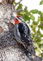 Red-Naped Sapsucker (Ed Sivon) Tags: american canon nature lasvegas wildlife wild western southwest desert clarkcounty clark vegas bird red nevada park