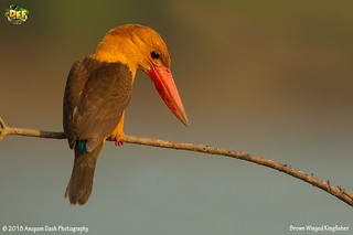 Brown Winged Kingfisher!!(_EJ1C2697)