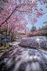 Cherry Blossoms/ 武陵農場 (Jennifer 真泥佛) Tags: 武陵農場 粉紅佳人 櫻花 賞櫻
