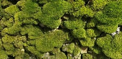 Mossy Wall (42jph) Tags: oneplus3t oneplus 3t yorkshire uk england moss wall nature green