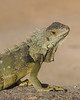 Portrait of an Iguana (niallfritz) Tags: coth iguana puerto rico reptile coth5 nature through the lens naturethroughthelens
