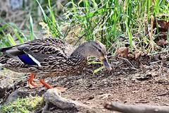 Female mallard duck (briannalhendricks) Tags: canonrebelt6 canonrebel canon birds pnw washington lake female ducka mallard
