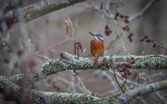 Hiding (mejud) Tags: kingfisher branch wildlife bird scotland panasonic
