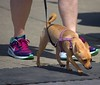 Get Along Little Doggie (Scott 97006) Tags: dog canine cute animal pet leash walk