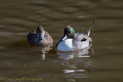 Northern Pintail Ducks (gary252uk) Tags: countydown strangfordlough castleespie