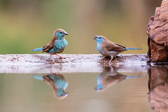 Are you crazy??? (ozrot) Tags: birds reflection water rock quarrel