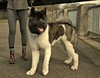Her Cute Doggie (Scott 97006) Tags: dog canine animal cute woman young akita pet