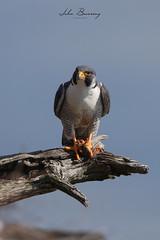 Peregrine (johnbacaring) Tags: peregrine falcon birdsprey raptor peregrinefalcon wildlife bird birds birding nature bat hudson hudsonriver