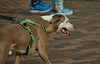 Dog On The Run (Scott 97006) Tags: dog run canine anoma pet guide leashed