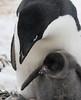 motherhood (LanaScape Photos) Tags: select family penguin adelie antarctica birds wildlife