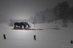 """Charme de la campagne ... ( P-A) Tags: campagne chevaux animaux hiver frette stecéciledemasham fermier éleveur foin nourriturebrouillard photos simpa© """"nikonflickraward"""""""