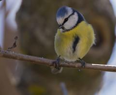 mésange (Doriane Boilly Photographie Nature) Tags: mésange nature birds oiseaux des jardins