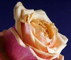 Rose (Only photoshoot, don't be afraid) Tags: bloemen macroopname macro flower rose