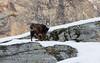 IMGP3802 (Rossano D'Achille) Tags: camoscio chamois valsavarenche aosta valledaosta winter neve snow