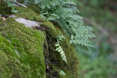 IMG_1942 (armadil) Tags: pulgasridgeopenspacereserve plant plants fern ferns