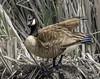 024693763262-97-Canadian Goose-2 (Jim There's things half in shadow and in light) Tags: 2018 canon5dmarkiv floydlambpark lasvegas march nevadastatepark tamronsp150600mmf563divcusdg2 animals bird wildlife animal birds goose geese grass