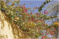 ras al khaimah 56 (beauty of all things) Tags: vae uae rasalkhaimah blumen flowers