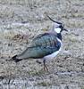 Lapwing at Druridge Wetlands (Gilli8888) Tags: northeast northumberland druridge druridgeponds birds nature wetlands countryside nikon p900 coolpix lapwing green