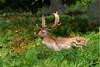 Fallow Deer Buck (Mike Slade.) Tags: fallowdeer buck damadama devon uk ©mikeslade