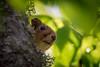 *Sniff* *sniff* (pakerholm) Tags: redsquirrel sciurusvulgaris squirrel ekorre sigma150600 sigma150600f563dgsports sigma150600mmf563 sigmasport sigma 150600 600 nikon d600 d610 nikond600 nikond610 fullframe fullformat wildlife animals vildadjur