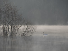 Montée des eaux ***--+° (Titole) Tags: mist swan trees water titole nicolefaton trévoix bassindetrévoix 15challengeswinner thechallengefactory unanimouswinner storybookttwwinner