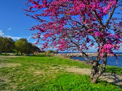 my lovely lilac tree (panoskaralis) Tags: lillac tree flowers blossoms spring port sea seascape seaside seafront seaview sky bluesky bluesea outdoor landscape lesvos lesvosisland mytilene greece greek hellas hellenic aegean aegeansea nature