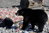 The baby black bear and me (Ten years on)  (4) (DESPITE STRAIGHT LINES) Tags: bear wildbear blackbear wildblackbear blackbearursusamericanus ursusamericanus bearcub animal wildanimal bc britishcolumbia canada encounterwithablackbear sombriobeach sombriobeachbc nikon paulwilliams despitestraightlines despitestarightlinespaulwilliams
