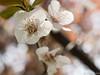 Plum Cherry flower (David R. Crowe) Tags: angiosperm angiosperms blossom colour flower floweringplant light nature plant rosaceae rosefamily white hefei anhui china