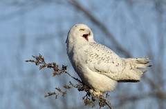 Snowy Behaviour (hd.niel) Tags: snowyowl goldenhour owls nature wildlife photography ontario behaviouralshot