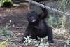 Happy Gorilla (gro57074@bigpond.net.au) Tags: zoobaby gorillaenclosure ropeswing gorilla tarongazoo babygorilla