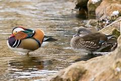 Mandarin duck pair (markgosling94) Tags: nikon nature wildlife bird pair duck mandarin