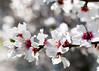 Almond Blossoms (donminer) Tags: art bokeh almond blossoms flowers white spring fresh pink magenta swirl california