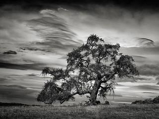 A Tree near Springs Trail
