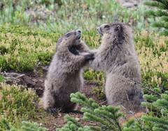 Boxing Match (Everyday Glory!!!) Tags: marmot skylinetrail jaspernationalpark liveanimal wildanimal hike hiking jaspernationalparkhiking alberta besthikecanada