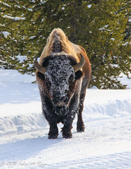 Buffalo Stand Down (taharaja) Tags: bison buffalo geysers hotsprings national oldfaithful park snowmobile westyellowstone winter wonderland wyoming yellowstone deer elk falls firehole gardiner gibons idaho lake madison mammoth montana pahaska prismatic snow thermalpool westthumb