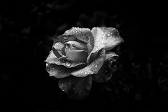 Rocío (jantoniojess) Tags: rocío dew rosas rosa flores flor flower monocromático blancoynegro petal pátalos gotasdeagua gota drops drop contraste londres