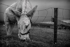 Dingle Donkey (rick miller foto) Tags: em10markii omd olympus candid monochrome mono bw blackandwhite emeraldisle irishcoast mules donkey farmanimal animals ringfort dingle ireland