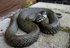 Vor der Haustür (michaelschneider17) Tags: natur wildtiere tiere schlangen frauenhorror schönheit