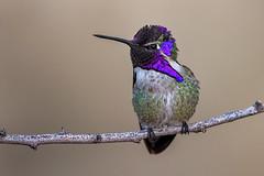 Costa's Hummingbird (Eric Gofreed) Tags: arizona costashummingbird hummingbird pimacounty wowarizonabb