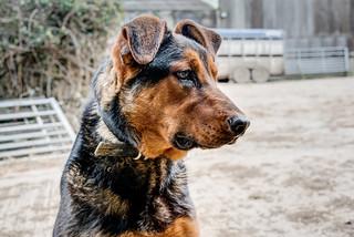 Puppy Dog Gus - New Zealand Ridgeback.