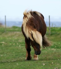 Icelandic on Ærø (Jaedde & Sis) Tags: horse icelandic hair challengefactorywinner thechallengefactory