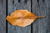 Big yellow leaf on wooden floor (jack-sooksan) Tags: mangrove leaf tree yellow orange nature dying dry tropical wooden floor wood big botany fall autumn foliage stalk plant old forest jungle park rainforest brown natural