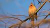Regal Profile (Ken Krach Photography) Tags: cardinal