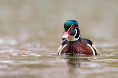 Eye on You... (PhillymanPete) Tags: creek duck waterfowl wildlife wissahickon woodduck nature bird chestnuthill water beauty valleygreen wissahickoncreek aixsponsa drake philadelphia pennsylvania unitedstates us