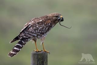 Red-Shouldered Hawk with prey