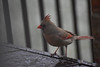 Il se cache de la neige (klafdi) Tags: cardinal snow neige oiseaux