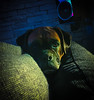 Ronnie (Mister_Swain) Tags: boxer boxerdog dog doggy puppy ginger black daft cute handsome boy comical